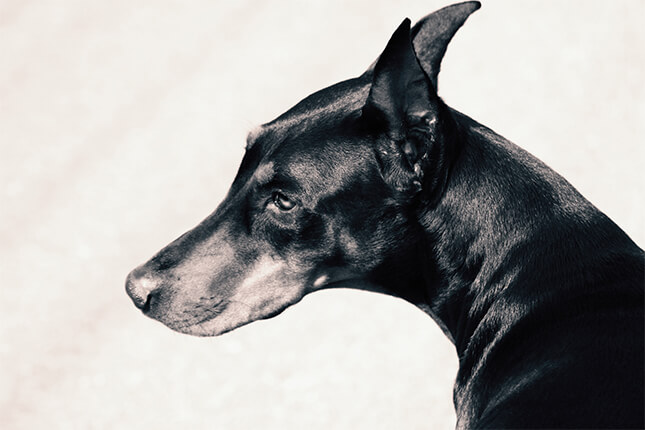 history of the doberman pinscher
