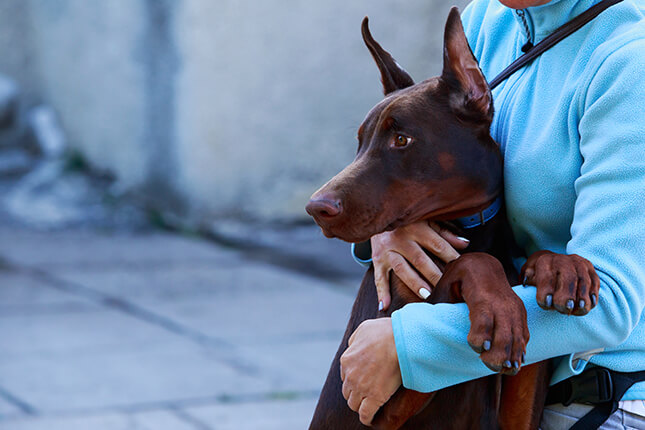dobermans around children