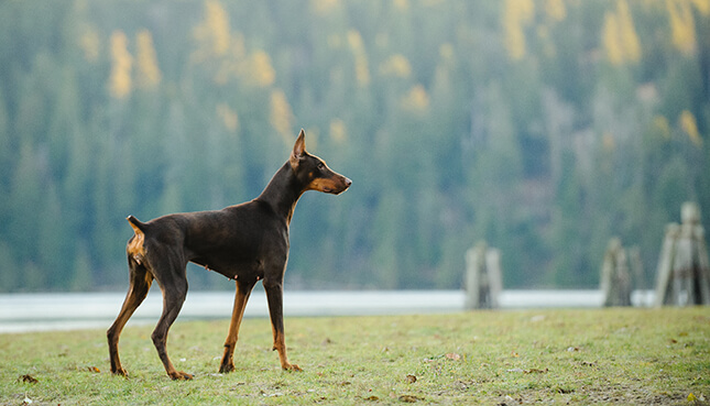 doberman pinscher confident attention security
